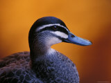Pacific Black Duck Portrait against a Background of an Orange Sunset, Australia Photographic Print by Jason Edwards