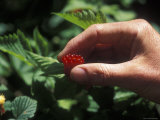 Picking Edible Red Salmonberries Photographic Print by Rich Reid