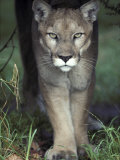 Mesmerising Glare of a Stalking Puma Hunting Prey, Australia Photographic Print by Jason Edwards