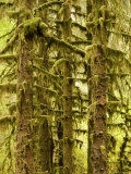 Moss Covered Trees in a Rainforest, Washington Photographic Print by Tim Laman