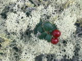 Reindeer Lichen and Low-Bush Cranberry, Alaska Photographic Print by Rich Reid