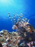 Lion Fish, Scorpionfish in Blue Water over Reef, Pterois Volitans, Solomon Islands Photographic Print by James Forte