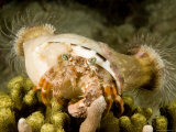 Large Hermit Crab with Sea Anemones on its Shell, Malapascua Island, Philippines Photographic Print by Tim Laman