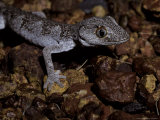 Nocturnal Northern Spiny Tailed Gecko Moving over Gibber Rocks, Australia Photographic Print by Jason Edwards