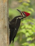 Pileatd Woodpecker Scales a Pine Tree Trunk Photographie par George Grall
