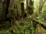 Lush Floor of a Rainforest, Washington Photographic Print by Tim Laman