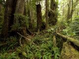 Lush Floor of a Rainforest, Washington Photographic Print by Tim Laman