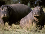 Nile Hippopotamuses Resting in the Sun on a Grass Savannah Plain, Australia Photographic Print by Jason Edwards