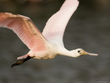 Roseate Spoonbill in Flight, Tampa Bay, Florida Photographic Print by Tim Laman