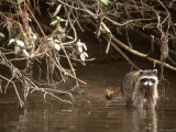Racoon Walks into Creek for a Drink of Water Photographic Print by Kate Thompson
