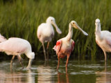 Roseate Spoonbills Forage Along the Edges of a Mangrove Island, Tampa Bay, Florida Photographie par Tim Laman