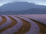 Rows of Lavender Flowers Await Harvest from Tasmania's Rich Soils, Australia Photographic Print by Jason Edwards