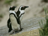 Pair of Jackass Penguins Photographic Print by Kenneth Garrett