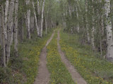 Less Traveled Road Through Aspens Photographic Print by Dawn Kish