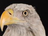 Portrait of a Bald Eagle, Lincoln, Nebraska Photographic Print by Joel Sartore