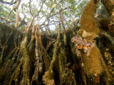 Rich Invertebrate Life Growing Underwater on Red Mangrove Roots, Belize Photographic Print by Tim Laman