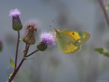 Orange Sulpher Butterfly Sips Nectar from a Thistle Photographic Print by George Grall