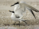 Pair of Sandwich Tern Copulate on a Beach Photographic Print by Tim Laman