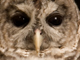 Portrait of a Barred Owl, Lincoln, Nebraska Photographic Print by Joel Sartore