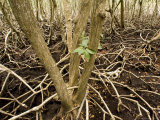 Mangrove Forest with Red Mangrove, Belize Photographic Print by Tim Laman