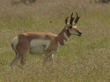 Pronghorn Antelope Buck on the Range, Arizona Photographic Print by George Grall