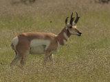 Pronghorn Antelope Buck on the Range, Arizona Photographic Print by George Grall