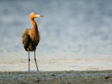 Reddish Egret Standing on the Shore, Tampa Bay, Florida Photographic Print by Tim Laman