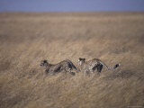 Pair of Cheetah Known as a Coalition Race Across the Vast Savannah, Serengetti, Tanzania Photographic Print by Jason Edwards