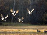 Male Mallards in Flight, Massachusetts Photographic Print by Tim Laman