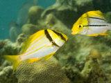 Porkfish in Adult and Juvenile Coloration, Belize Fotografisk tryk af Tim Laman