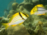 Porkfish in Adult and Juvenile Coloration, Belize Photographic Print by Tim Laman