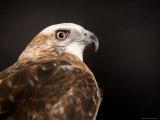 Krider'S, or Light Phased, Red-Tailed Hawk, Lincoln, Nebraska Stampa fotografica di Sartore, Joel