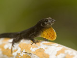 Male Brown Anole Displaying on a Mangrove Root, Belize Photographic Print by Tim Laman