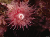 Proliferating Sea Anemone, Epiactis Prolifera, California Fotografie-Druck von James Forte