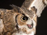 Portrait of a Great Horned Owl, Lincoln, Nebraska Photographic Print by Joel Sartore