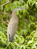 Male Bare-Throated Tiger Heron, Belize Photographic Print by Tim Laman