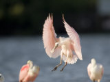 Roseate Spoonbill Comes in for a Landing, Tampa Bay, Florida Photographie par Tim Laman