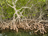 Red Mangrove, Belize Photographic Print by Tim Laman
