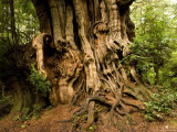 Rainforest with Giant Red Ceder Trees: Closeup of Massive Tree Trunk, Washington Photographic Print by Tim Laman