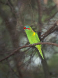 Musk Lorikeet, Glossopsitta Concinna, Australia Photographic Print by James Forte