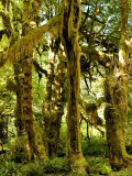 Moss Covered Trees and Dappled Sunlight, Washington Photographic Print by Tim Laman