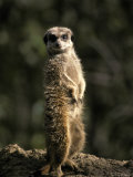 Meerkat Leaning on Tail on Mound, Alert Sentry Duty for Predators, Australia Photographic Print by Jason Edwards