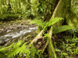 Rain Forest View: Tree with Buttresses and Stream Photographic Print by Tim Laman