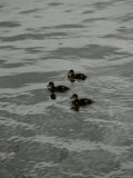 Mallard Ducklings in the Water, Mystic, Connecticut Photographic Print by Todd Gipstein