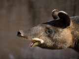 Mountain Tapir at the Cheyenne Mountain Zoo, Colorado Photographic Print by Joel Sartore