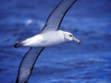Majestic Vulnerable Shy Albatross in Flight over a Blue Ocean, Australia Reproduction photographique par Jason Edwards