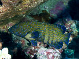 Peacock Grouper Photographic Print by Tim Laman