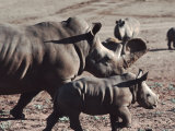 Mother and Juvenile Rhinoceros Among Others Photographic Print by Ira Block
