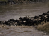 Migrating Wildebeeste Herd Stampedes Across the Mara River Photographic Print by Jason Edwards