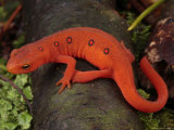 Red Eft Crawls on the Forest Floor Photographic Print by George Grall
